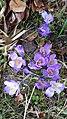 Saffron - Crocus vernus 19.jpg