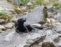 Salamandra atra 20060729084145wp.jpg