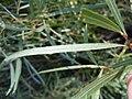 Salix melanopsis (5001879968).jpg