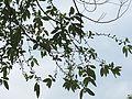 Salix warburgii 1.jpg