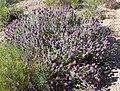 Salvia dorrii 8.jpg