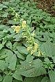 Salvia glutinosa kz02.jpg