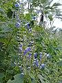 Salvia longispicata.jpg