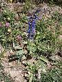 Salvia pratensis002.jpg