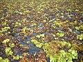 Salvinia auriculata ആഫ്രിക്കൻ പായൽ.jpg