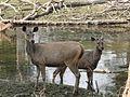 Sambar deers.jpg