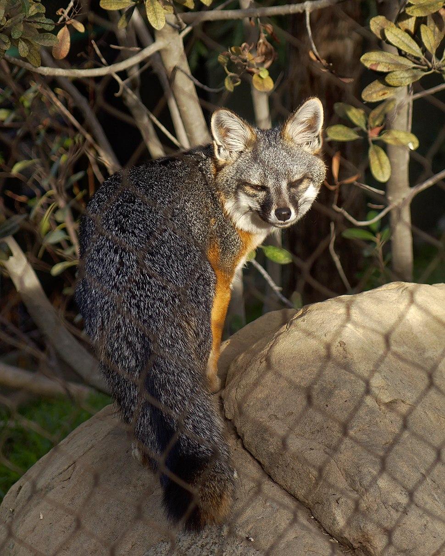 San Clemente Island Fox (Urocyon littoralis clementae) at Santa Barbara Zoo 2016-01-27