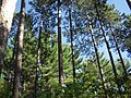 Sand Dunes State Forest mature pine.JPG