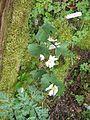 Sanguinaria canadensis - Flickr - peganum.jpg