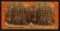 Santa Cruz, Big Trees, Calaveras Grove, Cal, by Reilly, John James, 1839-1894.png