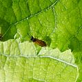 Sawfly sp. - Flickr - gailhampshire (8).jpg