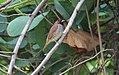 Scaly-breasted munia - Lonchura punctulata.jpg