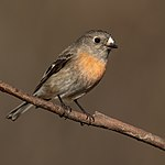Scarlet Robin female - Blackheath.jpg