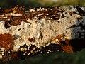 Schizopora paradoxa a1 (3).jpg