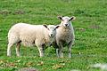 Schuelperneuensiel two lambs 12.05.2011 20-08-57.JPG