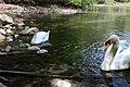 Schwanenfamilie auf einem kleinen See.jpg