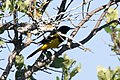 Scott's Oriole (male) South Llano River SP TX 2018-05-07 08-40-24-2 (41811365010).jpg