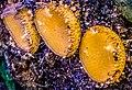 Scutellinia (Cooke) Lambotte 864109.jpg