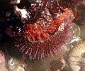 Sea anemone and sea urchin.jpg