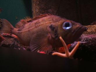 Rose fish - Image: Sebastes marinus aquarium