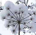 Seed head in the snow (4251179482).jpg