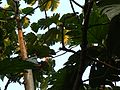 Seemachakka (Malayalam- ശീമച്ചക്ക) (2094573565).jpg