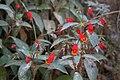 Seemannia sylvatica (Kunth) Hanst. (codiferous) 003.jpg