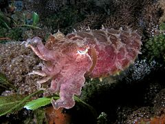 Sepia latimanus (Reef cuttlefish) dark coloration.jpg