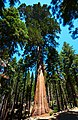 Sequoia Tree (41563931240).jpg