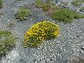 Serpentine soil Northern Apennine.JPG
