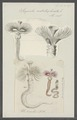 Serpula contortuplicata - - Print - Iconographia Zoologica - Special Collections University of Amsterdam - UBAINV0274 102 20 0014.tif