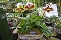 Serres-Jardin-Plantes-Paris 21 Paphiopedilum-Americain.JPG