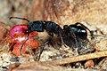Shattuck C25926-1, Rhytidoponera, near Bungendore, NSW.jpg
