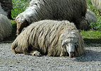 Sheep of Syria.jpg