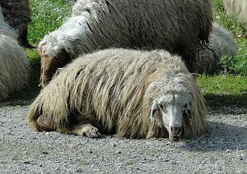 English: Sheep near Krak des Chevaliers in Syr...