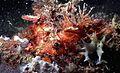 Shortfin Turkeyfish Dendrochirus brachypterus (7976302317).jpg