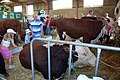 Show Cattle - geograph.org.uk - 321425.jpg