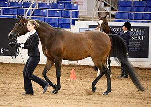 Horse showmanship - The Arabian horse can be shown with a full mane and tail