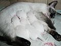 Siamese Cat with her Kitties.jpg