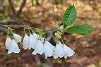 Silverbell Halesia tetraptera Flowers.JPG