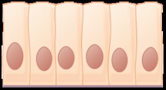 Intestinal epithelium - Simple columnar epithelial cells