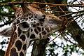 Singapore Zoo Giraffe eating-2 (8321609822).jpg