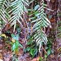 Sinharaja Rain Forest - panoramio (6).jpg