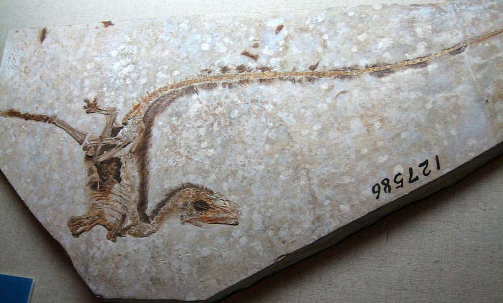 Fosili - Page 4 1024px-Sinosauropteryxfossil