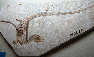Feathered dinosaur - Sinosauropteryx fossil, the first fossil of a definitively non-avialan dinosaur with feathers