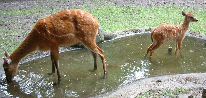 Антилопа Ситатунга и ее детеныш