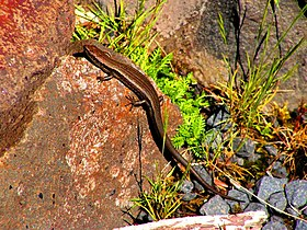 Skink near Cradle Mountain, Tasmania.jpg