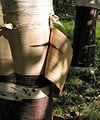 Sliver Birch tree - geograph.org.uk - 1013413.jpg