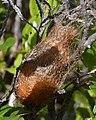 Small Emperor Moth (Saturnia pavonia) Cocoon - Oslo, Norway 2020-08-30 (01).jpg