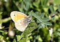Small heath - Coenonympha pamphilus 01.jpg